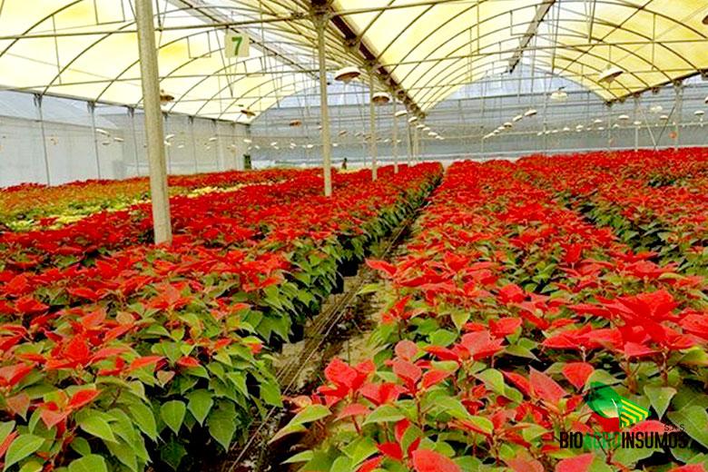 galeria-productos-avisana-y-bioxinis-Flor-de-Pascua.jpg