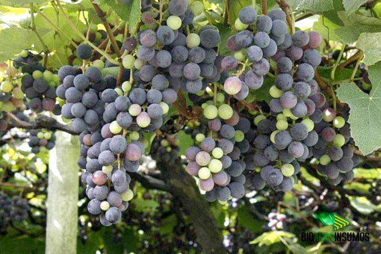 galeria-productos-avisana-y-bioxinis-uvas.jpg